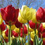 گل های لاله در هلند